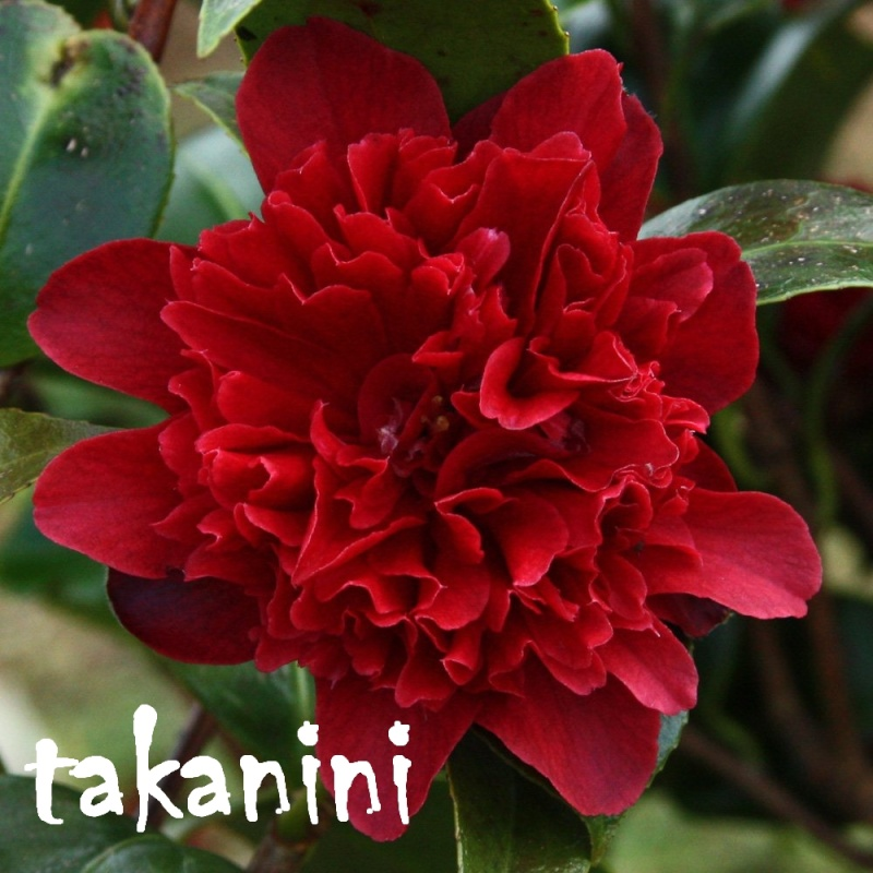 les camélias de perrine  Takani10