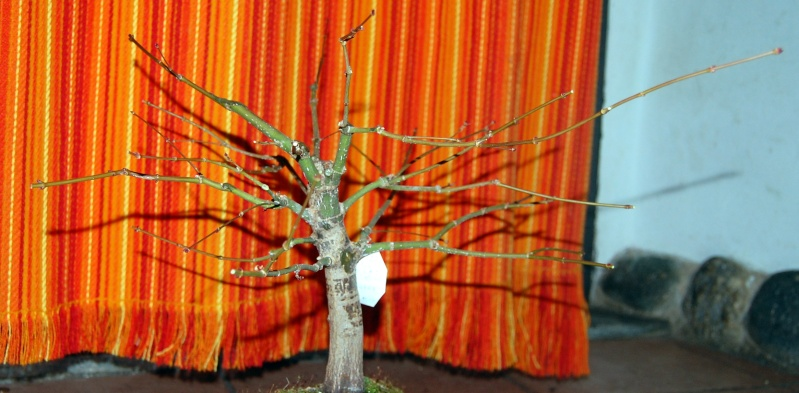 acero potatura invernale Acero414