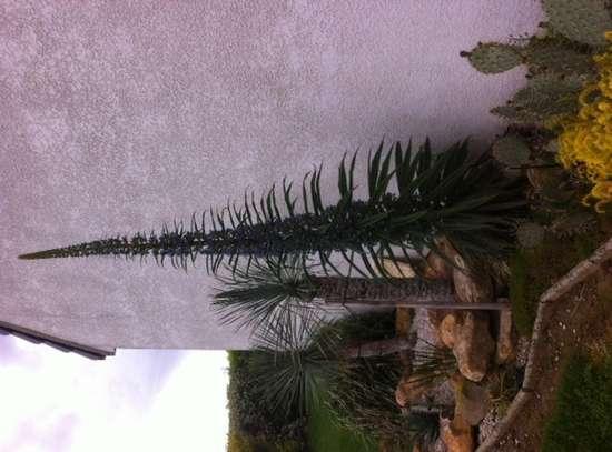 Le jardin de paradis tropical - Page 4 Echium11