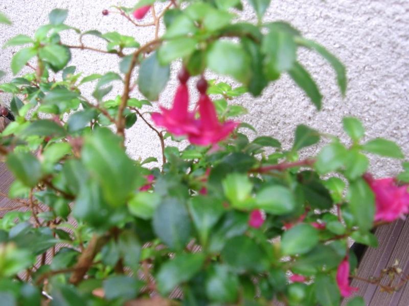 Des fleurs dans mon jardin Img_2627
