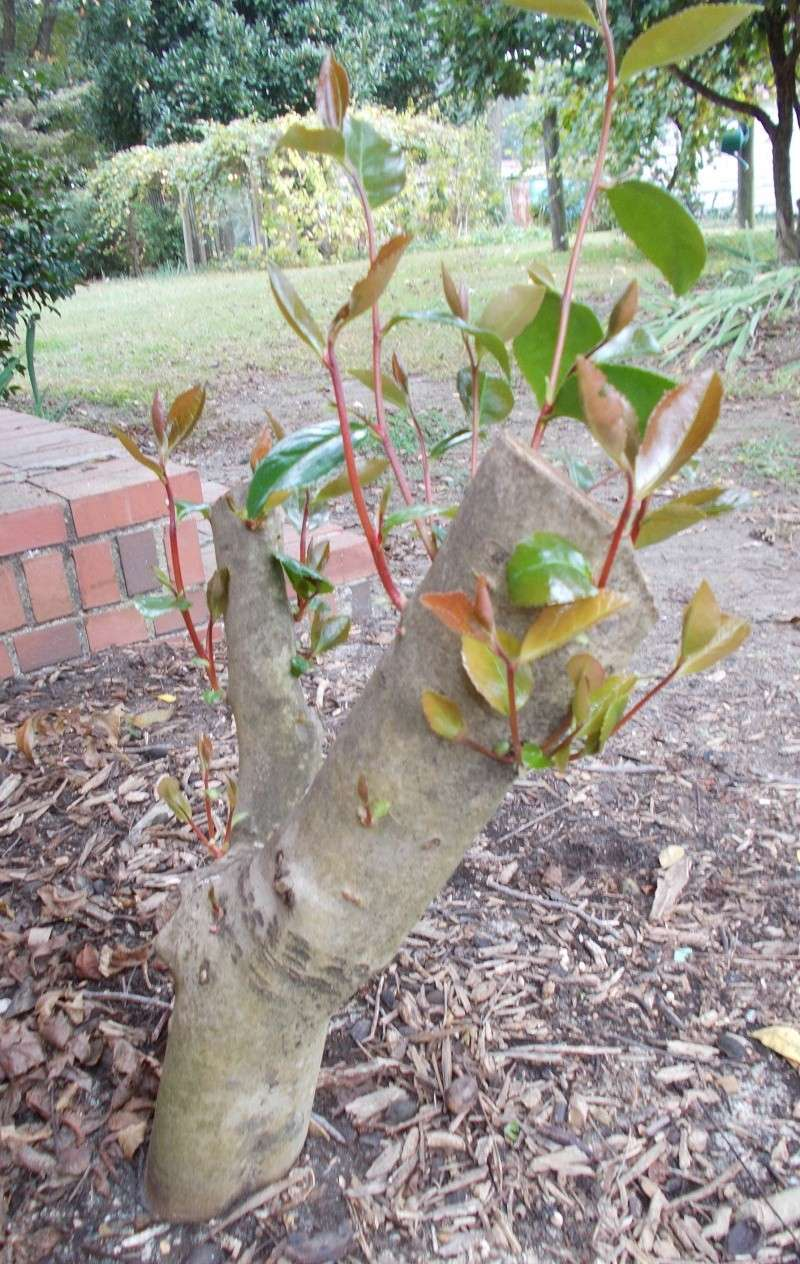 Need some honest advice about a 30+ year old Camellia - Page 2 Cameli10