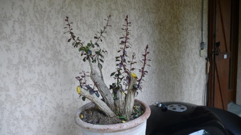 berberis bonsaï P1060016