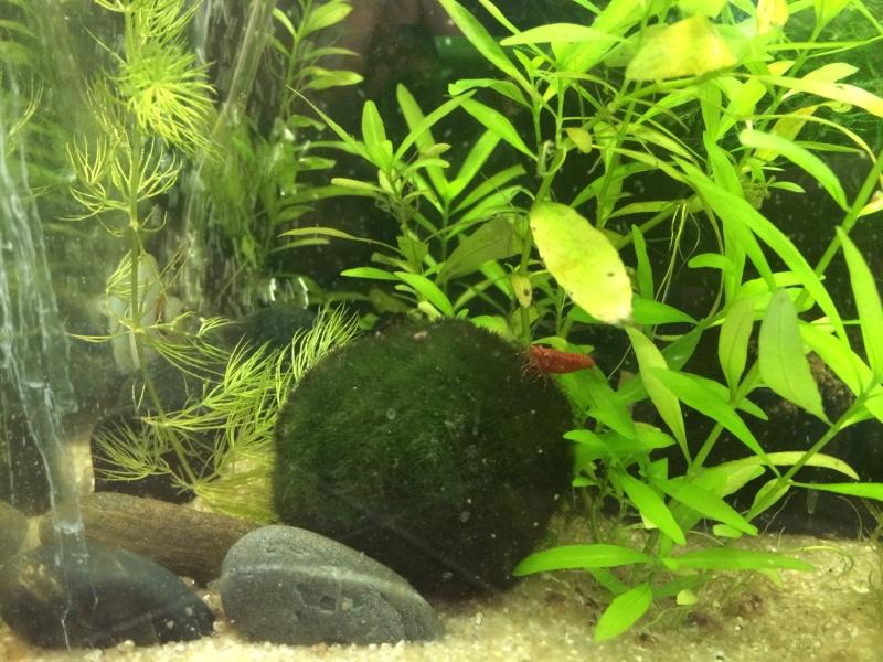 Update Red Cherry Shrimp Tank Image14
