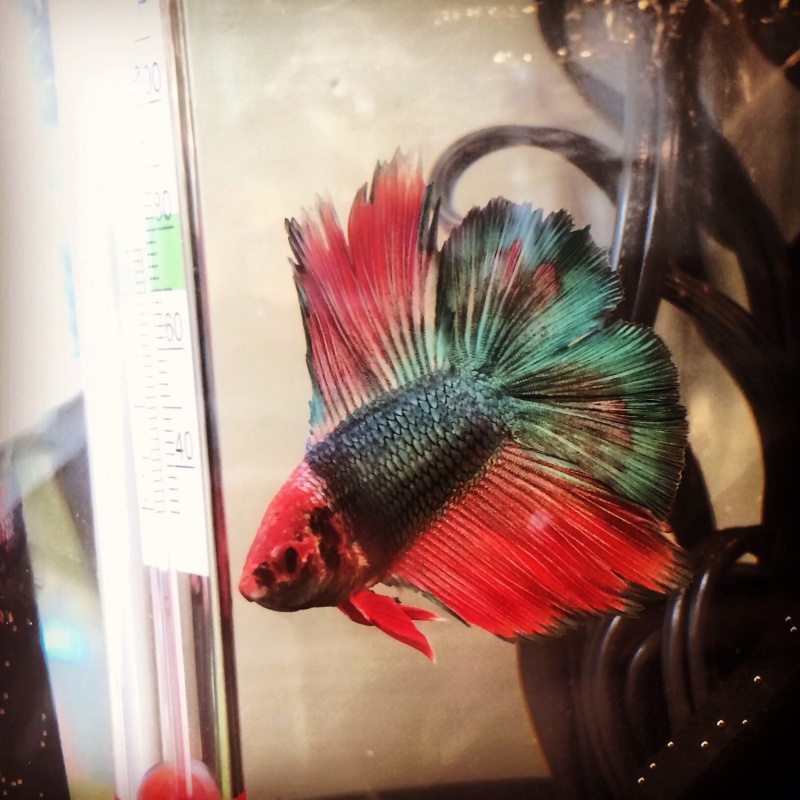New doble tail betta Image15