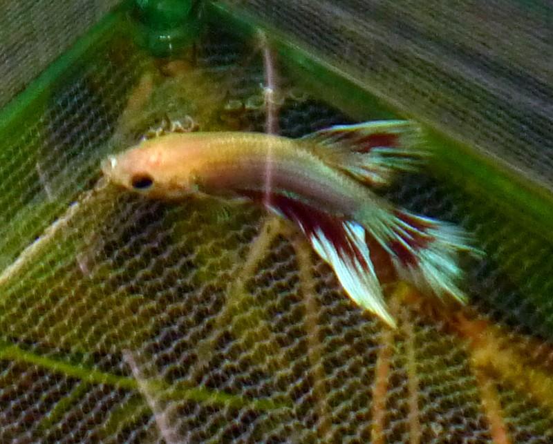 Reproduction mâle D et femelle HM P1010310