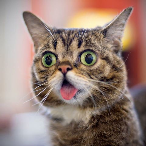Lil Bub l'éternelle chatonne 75916_10