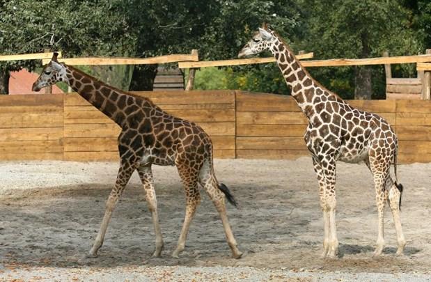 Pronađen je 'krivac' za žirafe na Facebooku! 1_176410
