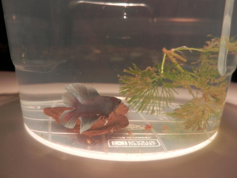 Male copper BF(caridina56)+femelle HM (progalacarte) Pa110113