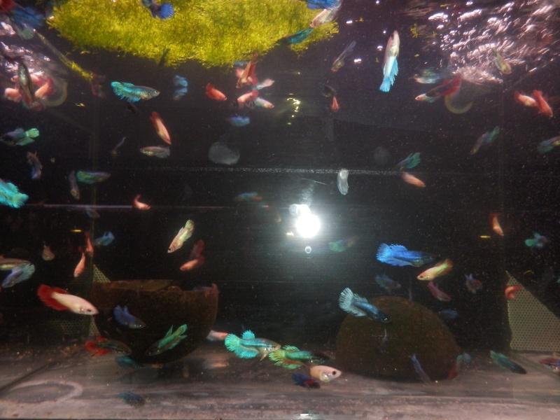 MAGNIFIQUE arrivage de bettas au poisson d'or à estaimpuis Pb090110