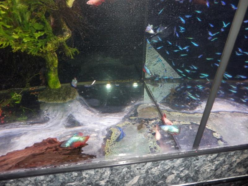 MAGNIFIQUE arrivage de bettas au poisson d'or à estaimpuis Pb090111