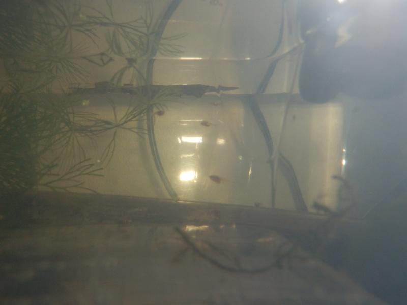 HM marbré + femelle HS de chez canette Pb190310