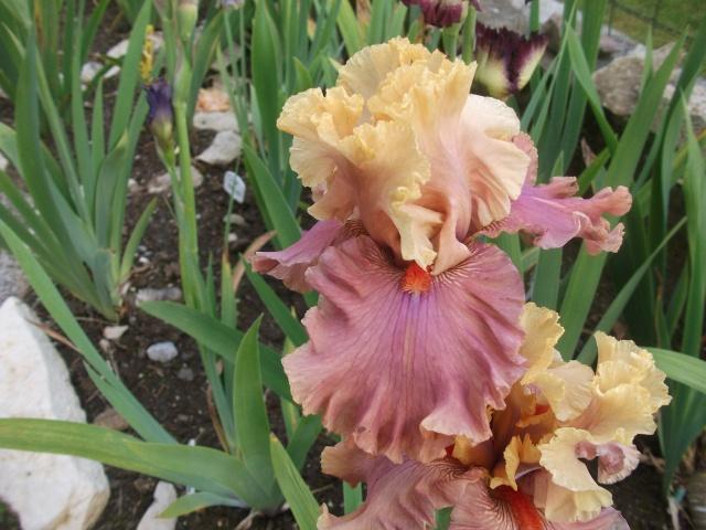 votre plus bel iris - Page 2 Dscf0810