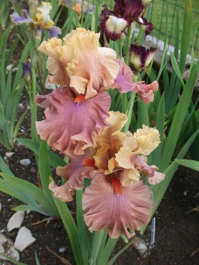 votre plus bel iris - Page 2 Dscf0811