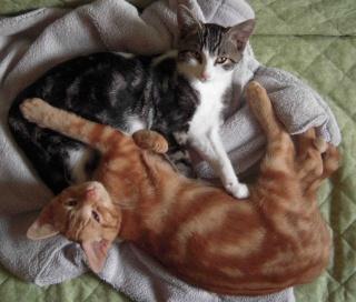 Colombine, jolie chatonne tigrée et blanche, née début juin 2013 - ADOPTEE par sa FA Arco_110