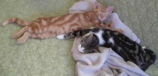 Colombine, jolie chatonne tigrée et blanche, née début juin 2013 - ADOPTEE par sa FA Arco_111