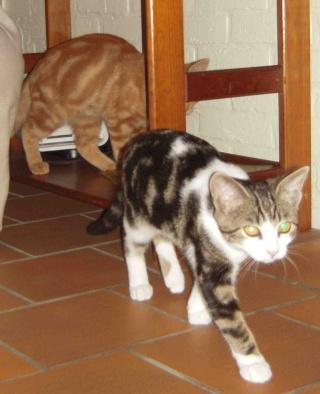 Colombine, jolie chatonne tigrée et blanche, née début juin 2013 - ADOPTEE par sa FA Arco_114