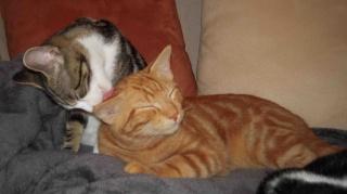 Colombine, jolie chatonne tigrée et blanche, née début juin 2013 - ADOPTEE par sa FA Arco_214