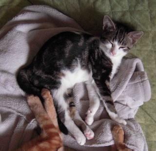Colombine, jolie chatonne tigrée et blanche, née début juin 2013 - ADOPTEE par sa FA Co10