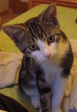 Colombine, jolie chatonne tigrée et blanche, née début juin 2013 - ADOPTEE par sa FA Co_1010
