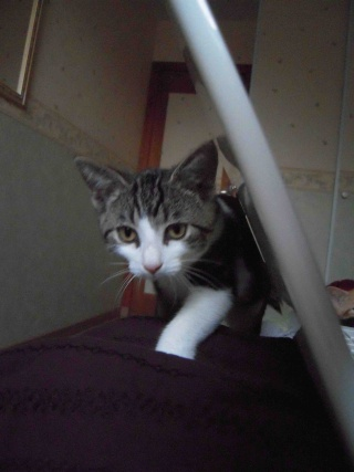 Colombine, jolie chatonne tigrée et blanche, née début juin 2013 - ADOPTEE par sa FA Co_110