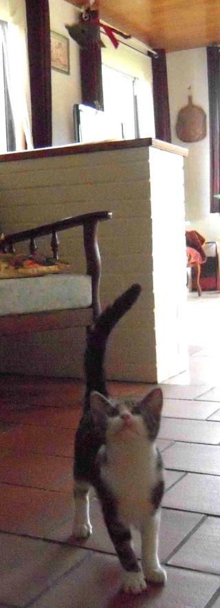 Colombine, jolie chatonne tigrée et blanche, née début juin 2013 - ADOPTEE par sa FA Co_1611