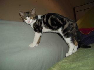 Colombine, jolie chatonne tigrée et blanche, née début juin 2013 - ADOPTEE par sa FA Co_2110