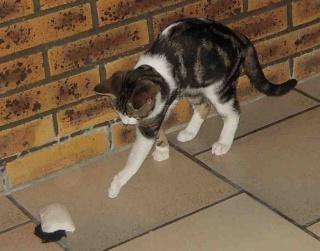 Colombine, jolie chatonne tigrée et blanche, née début juin 2013 - ADOPTEE par sa FA Co_311