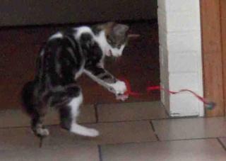 Colombine, jolie chatonne tigrée et blanche, née début juin 2013 - ADOPTEE par sa FA Co_3210
