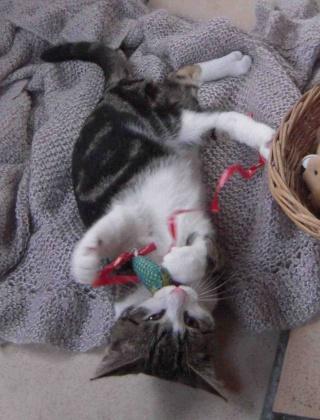 Colombine, jolie chatonne tigrée et blanche, née début juin 2013 - ADOPTEE par sa FA Co_3910