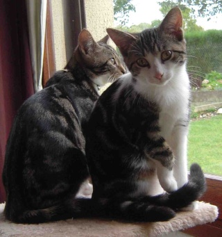 Colombine, jolie chatonne tigrée et blanche, née début juin 2013 - ADOPTEE par sa FA Co_4710