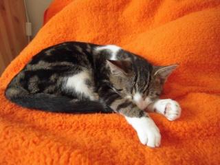 Colombine, jolie chatonne tigrée et blanche, née début juin 2013 - ADOPTEE par sa FA Co_5410