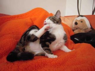 Colombine, jolie chatonne tigrée et blanche, née début juin 2013 - ADOPTEE par sa FA Co_5810