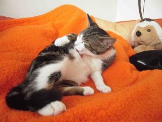 Colombine, jolie chatonne tigrée et blanche, née début juin 2013 - ADOPTEE par sa FA Co_5910