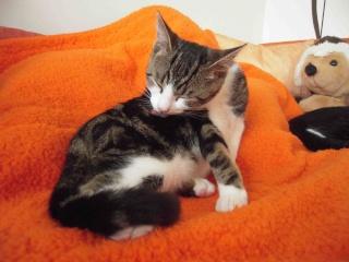 Colombine, jolie chatonne tigrée et blanche, née début juin 2013 - ADOPTEE par sa FA Co_6010