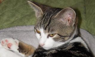 Colombine, jolie chatonne tigrée et blanche, née début juin 2013 - ADOPTEE par sa FA Co_610