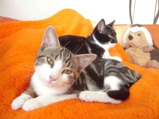 Colombine, jolie chatonne tigrée et blanche, née début juin 2013 - ADOPTEE par sa FA Co_6110