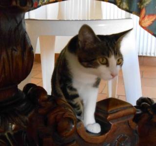 Colombine, jolie chatonne tigrée et blanche, née début juin 2013 - ADOPTEE par sa FA Co_6410