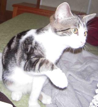 Colombine, jolie chatonne tigrée et blanche, née début juin 2013 - ADOPTEE par sa FA Co_910