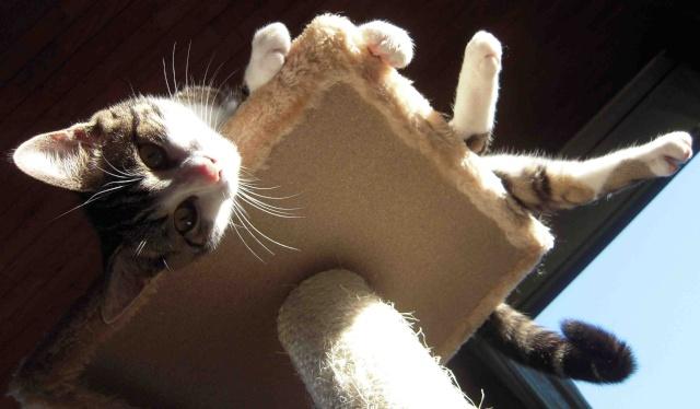 Colombine, jolie chatonne tigrée et blanche, née début juin 2013 - ADOPTEE par sa FA Co_pv110