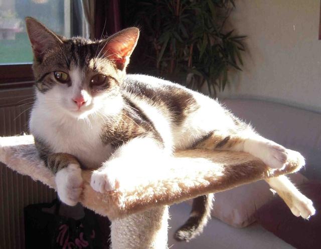 Colombine, jolie chatonne tigrée et blanche, née début juin 2013 - ADOPTEE par sa FA Co_pv410