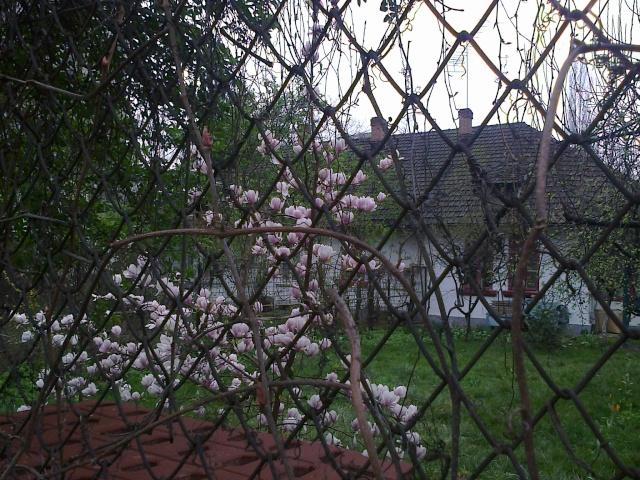 Magnolias - Page 14 Fotogr13