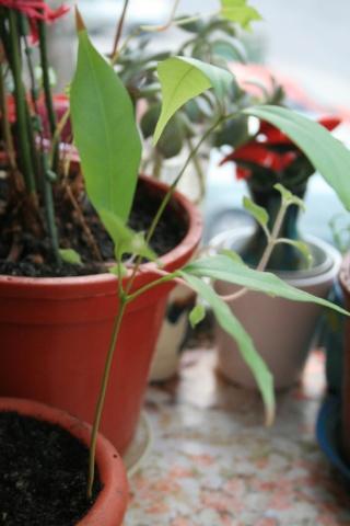 La culture du litchi/lichies/litchee, la germination et l'entretien du litchi - Page 2 Litche10