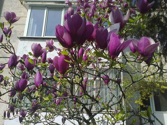 Magnolias - Page 14 Magnol10
