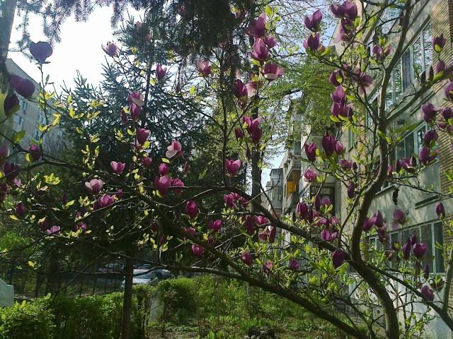 Magnolias - Page 14 Magnol11
