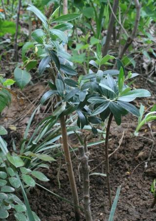 La culture et l'entretien de l'olivier- -Olea Europea - Page 3 Olivie10