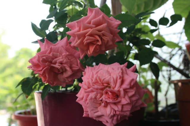 le royaume des rosiers...Vive la Rose ! - Page 13 Rosier11