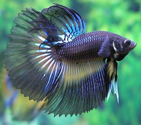 Рыбки. Betta_10