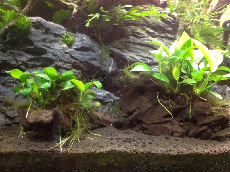 Algues filamenteuses, corne de cerf   Img_0511