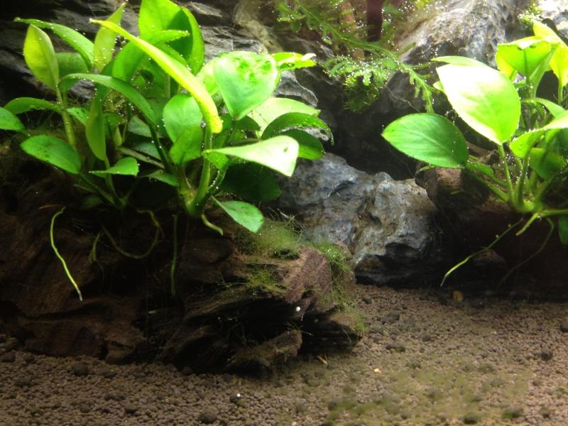 Algues filamenteuses, corne de cerf   Img_0512