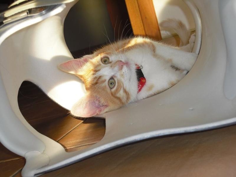 Joy - Petite Louloute rousse et blanche Adoptée 10388210